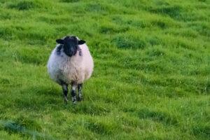 pecora-irlandese